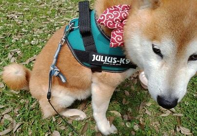 買ってよかった!毎日散歩に行く私がおすすめの犬グッズ11選【飼い始め、ハーネス、リードなど】