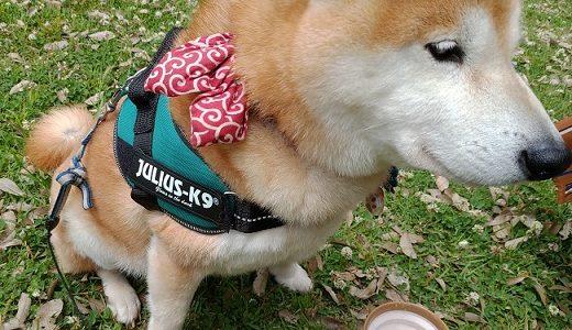【ユリウスケーナイン(Julius-K9)レビュー】柴犬にハーネスをつけてみました